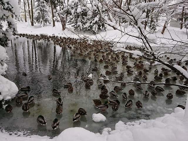 永山神社の池のカモ